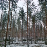 harvennettu metsä